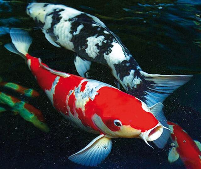 Il bello del giardino acquario for Laghetto giapponese