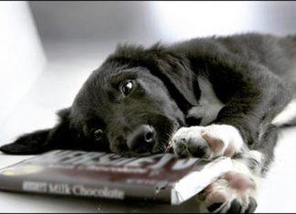 cane-goloso-di-cioccolata-pericolo-avvelenamento