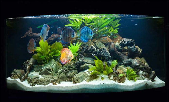 Pesci acqua dolce acquario discus vari