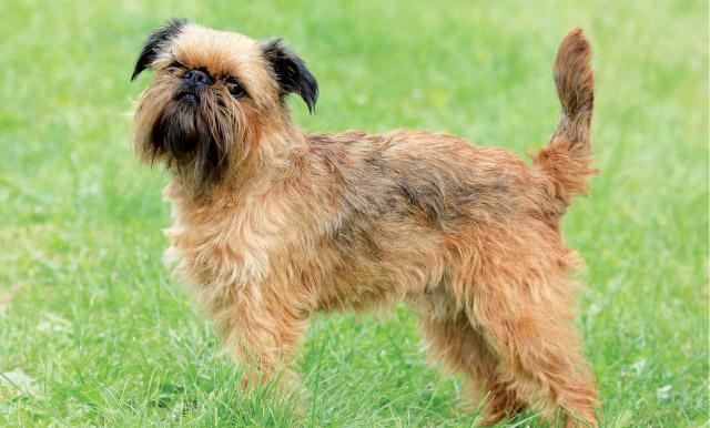 cane-griffone-di-Bruxelles-posizionato