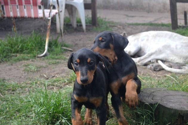 cuccioli di dobermann