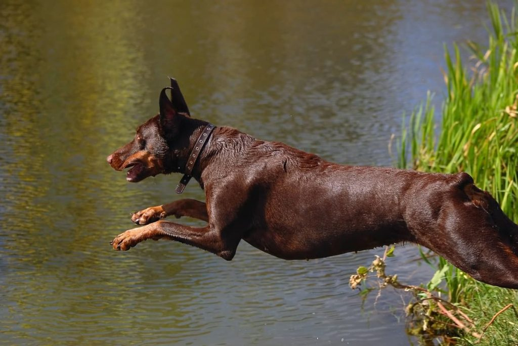 dobermann che salta in acqua