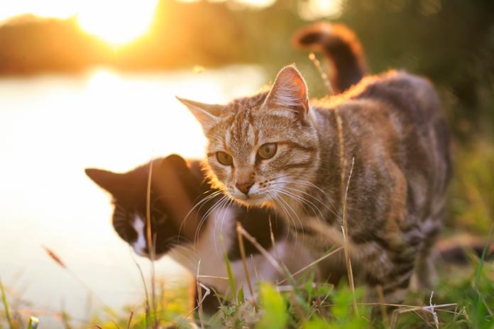 gatti che passeggiano