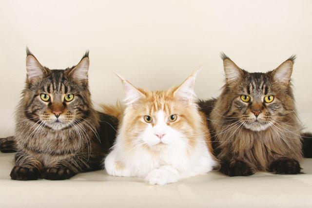 tre gatti bellissimi in primo piano  di razza maine coon
