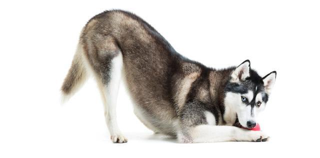 tremori cane