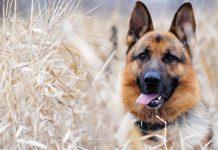Il pastore Tedesco il re dei cani