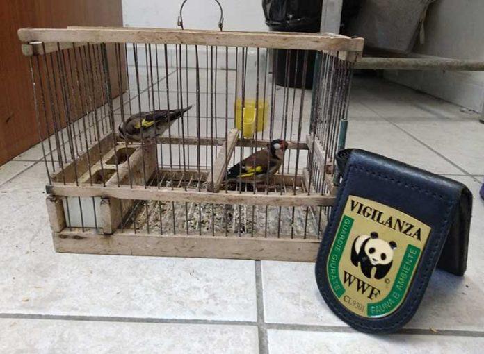 cardellino illegale maltrattamento animali