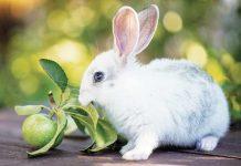 coniglio rosica una mela