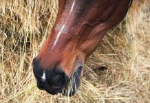denti cavallo fieno