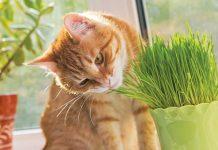 gatto assapora erba gatta
