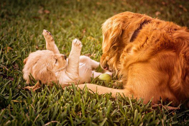 Golden retriever gioca con il suo cucciolo