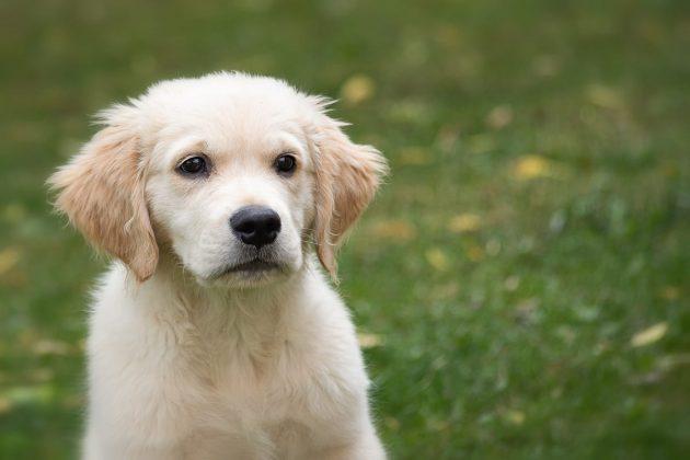 cucciolo di golden retriever in primo piano