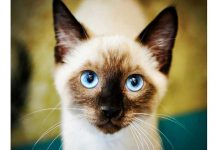 gatto-siamese-primo-prino
