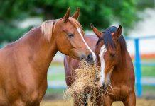 coliche-cavallo-che-mangiano-fieno