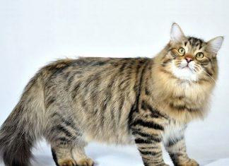 gatto-siberiano-cibo