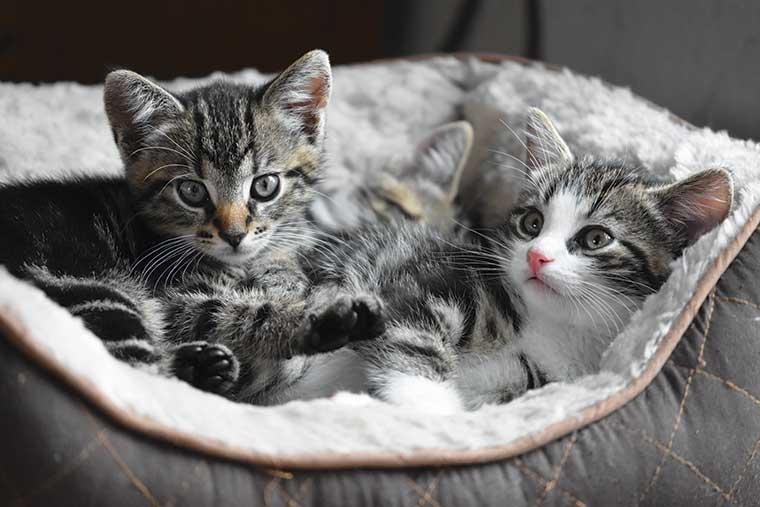 gattini naso olfatto