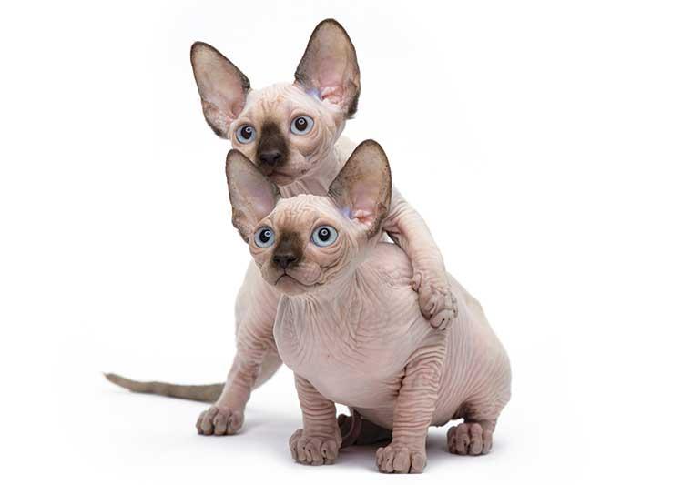 sphynx gatto nudo cuccioli
