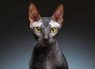 Sphynx gatto nudo
