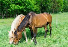 Cavalli-pascolo-baio-mangiano-erba