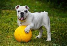 cane-sportivo-con-la-palla