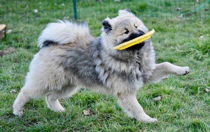articolazioni cane che corre con il freesbi