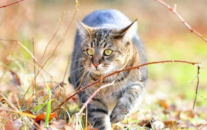 gatto-curioso-cammina-indispettito