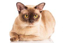 Gatto burmese la scheda