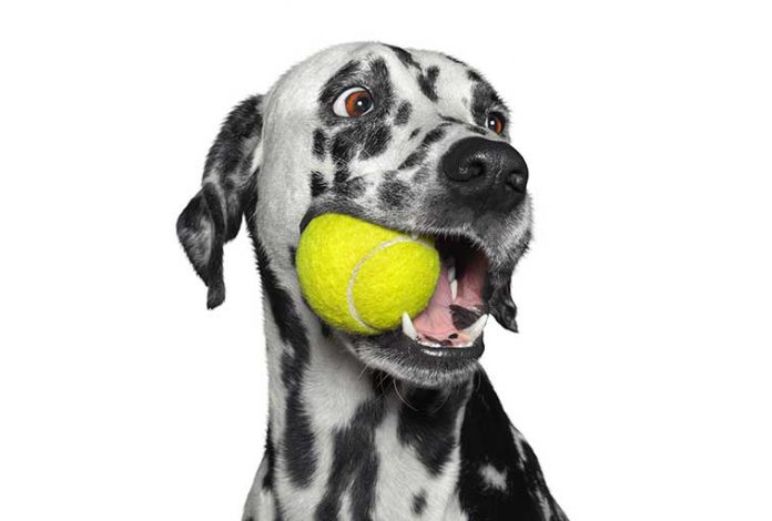 Cane Dalmata con la palla in bocca