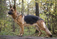 Cane-da-pastore-tedesco*in-posa-nel-bosco