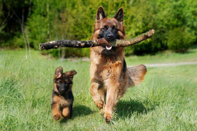 Pastore tedesco corre con il suo cucciolo