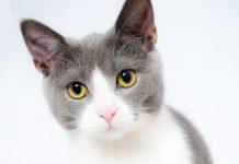 caso lyssavirus arezzo gatto closeup