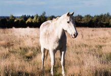 Cavallo anziano