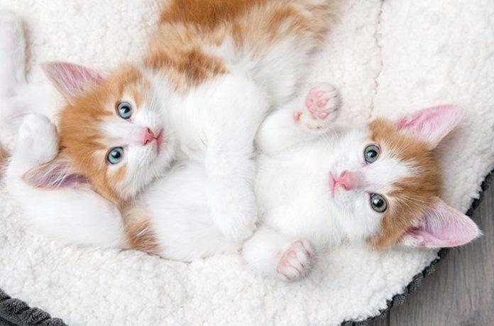 come inserire un nuovo gattino