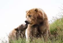 orso trentino cattura