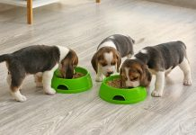 beagles alimentazione aurora biofarma