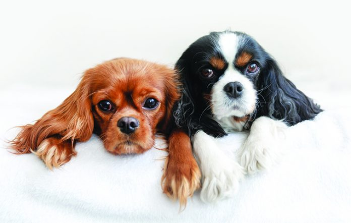 Two-dogs-lying-together