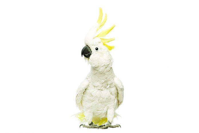 Cacatua-pappagallo-di-origine-australiana-alimentazione