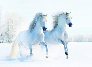 Cavalli-sulla-neve-coppia