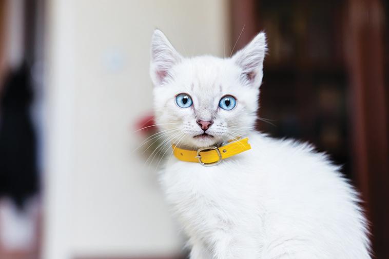 Gatto bianco in primo piano con il collare giallo