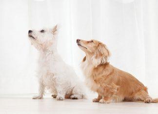 Due cani in casa convivenza tra di loro