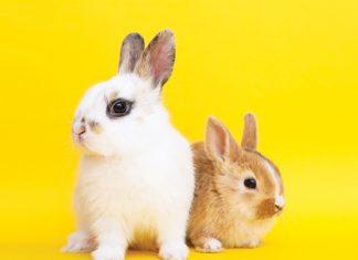 coppia di conigli in posa per articolo patologie epatiche