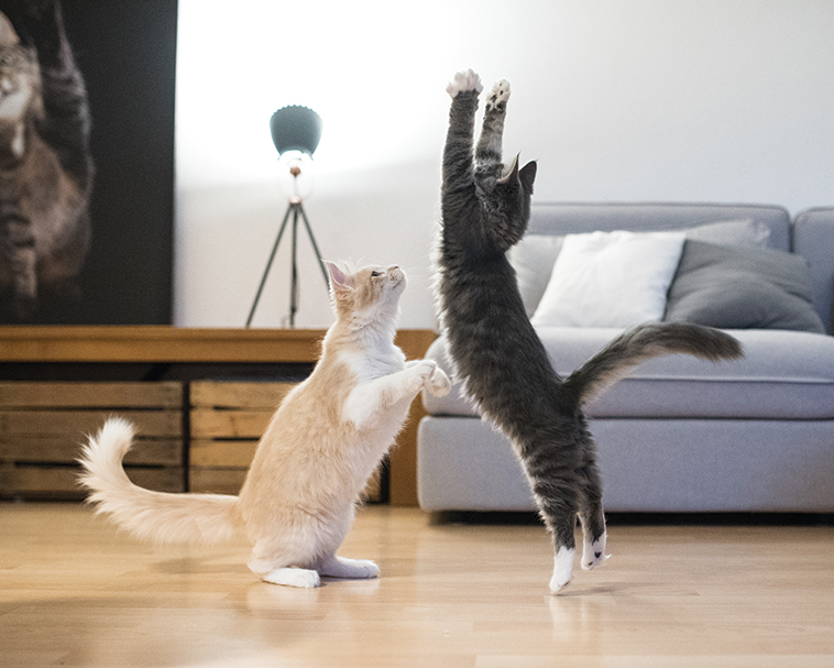 Due gatti che giocano tra di loro