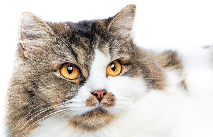 primo piano del gatto iperteso