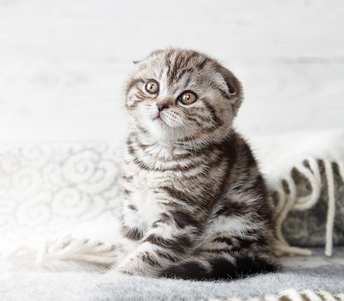Gatto scottish fold staora e mitologia