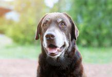 cane anziano dolore articolare
