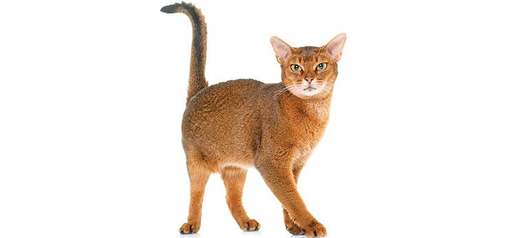 primo piano del gatto abissino