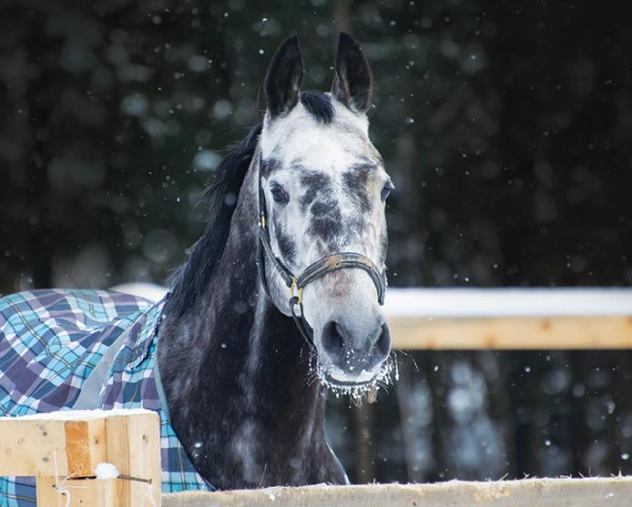 cavallo anziano inverno