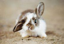 Coniglio-da-compagnia-comportamento