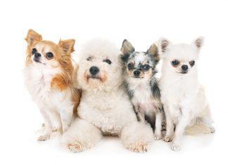 gruppo di cani patologia idrocefalo