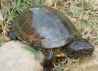tartarughina-acqua-adulta